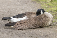 Cute Canada Goose Sleeping