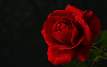 Red Rose In Close Up View