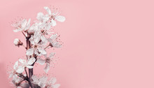 White Cherry Blossom At Pastel Pink Background, Spring Nature And Holidays Layout