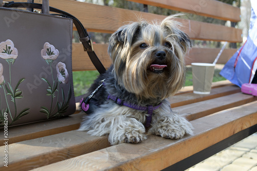 Adorable yorkshire terrier laying on a brown bench. Fototapet