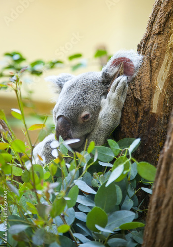Poster Koala koala bear in forest