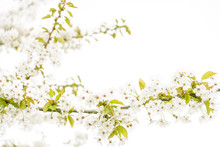 Close-up View Of The Little White Flowers And Branches Of A Blossoming Apple Tree Against A White Background With A Shallow Depth Of Field And A High-key Treatment.