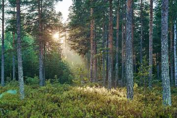 Sunrise in pine summer forest