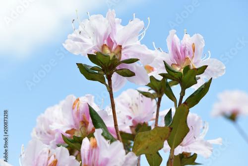 Deurstickers Azalea azalea