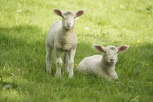 Baby Pair Of Lambs On Grass In...