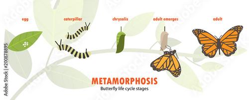 Fotografía  butterfly life cycle metamorphosis