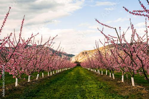 Fotobehang Tuin Garden with pink blooming trees