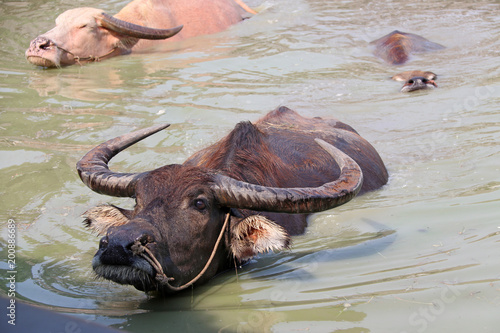 Staande foto Buffel Three of Thai buffalo on the water, it take a bath to cool off. It is a large black domesticated buffalo with heavy swept-back horns, used as a beast of burden throughout the tropics.