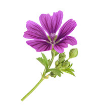 Mallow Plant With Flower