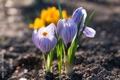 Foto op Canvas Krokussen Crocus flower blooming.