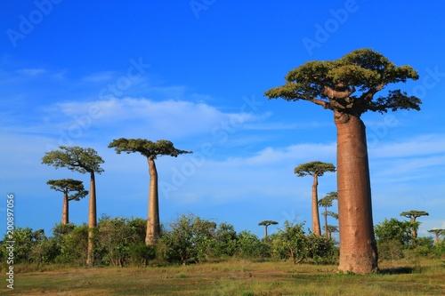 Keuken foto achterwand Baobab 双子のバオバブ