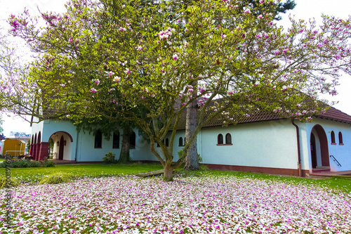 Wonderful Pink Magnolia Tree With Colorful Leaves Falling Down Buy