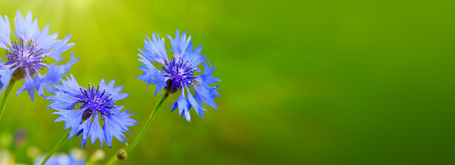 Blue cornflowers in bright sunlight.