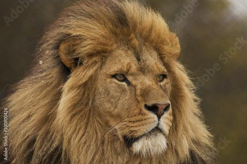 Foto op Aluminium Leeuw Safari Park Lion