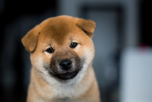 Portrait Of Cute Smiley Shiba ...