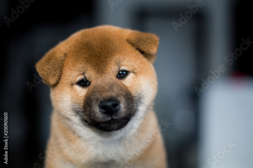 Poster Dog Portrait of cute smiley Shiba Inu dog puppy on a dark background. Image of sweet japanese dog looks like a teddy bear