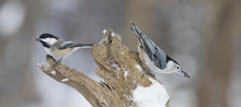 Black-capped Chickadee And Whi...