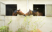 Two Brown Horses Look Out Through Stable Window And Show Affection