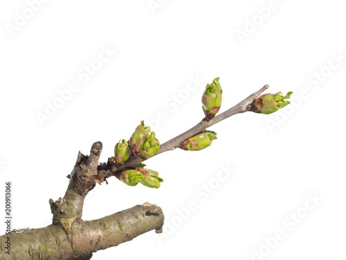Fotografie, Obraz  Sour cherry bud on white