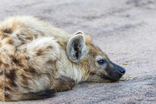 Fotobehang Hyena Spotted Hyena lying and resting on the ground