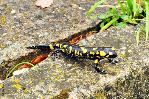 Salamandra común, Sierra de Grazalema, España