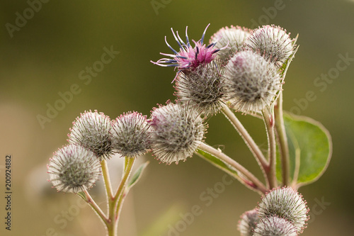 Fotografiet funny flowers and buds of burdock