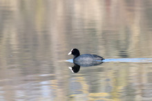 Coot Water Bird Swimming On Th...