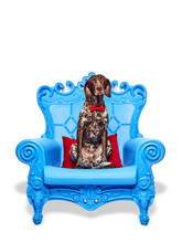 A Cute Dog Sitting On A Blue Throne Chair