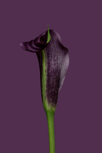 Calla Lily Against Plain Background, Purple