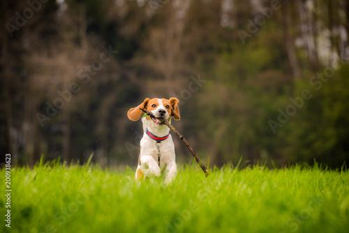 Obraz Beagle dog in a field runs with a stick - fototapety do salonu
