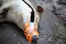 Burned Hair Cleaning On A Slaughter Pig In A Rural Area