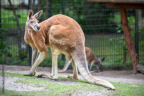 Red Kangaroo in a Zoo, Berlin