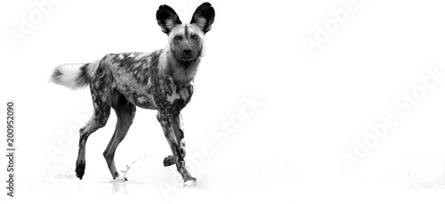 Photo  Black and white, artistic photo of  African Wild Dog, Lycaon pictus, walking in water, staring directly at camera