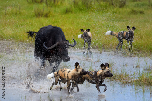 Photo  African Wild Dog, Lycaon pictus, pack attacking buffalo calf in water, defended by mother