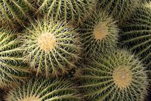 Close Up Of Golden Barrel Cactus (Echinocactus Grusonii)