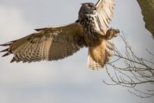 Eurasian Eagle-owl. European E...