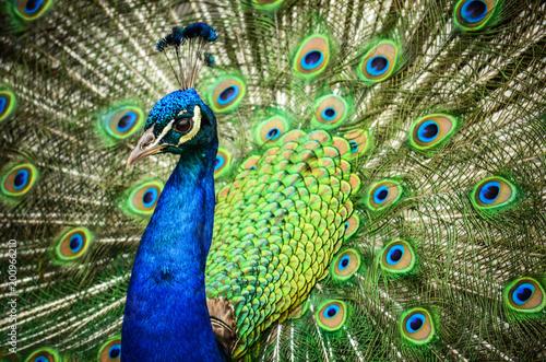 Foto op Plexiglas Pauw Peacock
