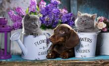 Puppy Dachshund And Kitten Sco...