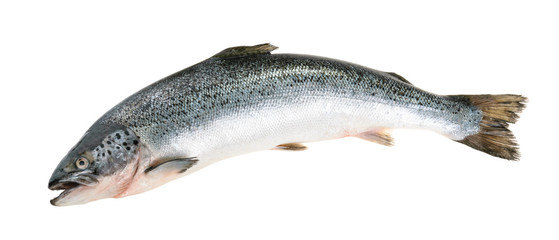 Fototapeta Salmon fish isolated on white without shadow