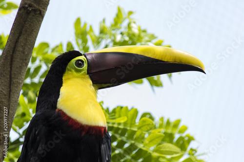 Foto op Canvas Toekan toucan