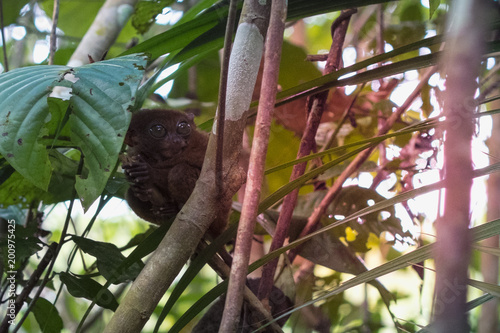 Fotografie, Obraz  Tarsier in the Conservation area in Loboc, Bohol, Philippines