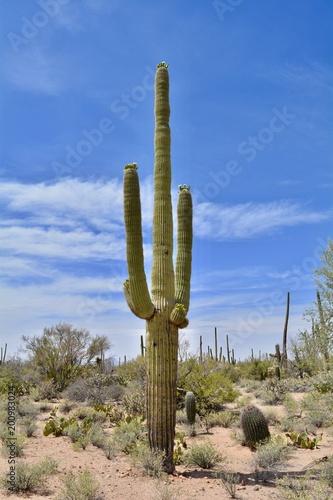 Staande foto Cactus Flowering Saguaro Cactus Arizona Sonoran Desert