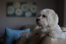 Pet Small Dog