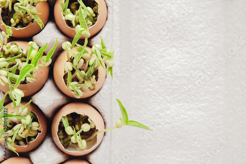 Valokuvatapetti seedling plants in eggshells, eco gardening,  montessori, education concept, reu