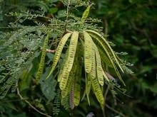 Close Up Of Wild Tamarind