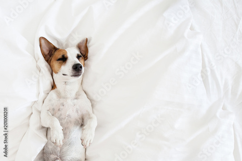 Poster Chien Sleeping dog at bed
