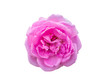 canvas print picture - pink of Damask Rose flower.