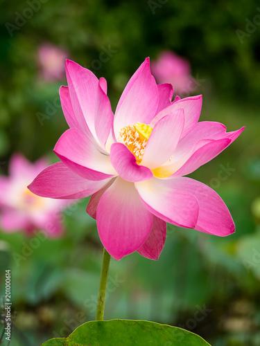 Foto op Canvas Lotusbloem Close up pink lotus flower.