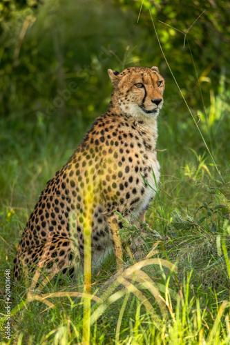 Valokuva African cheetah, Masai Mara National Park, Kenya, Africa