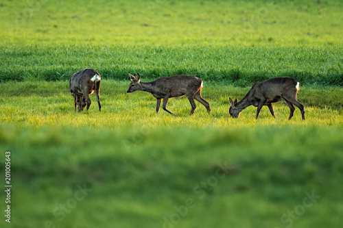 Tuinposter Ree European roe deer in a meadow
